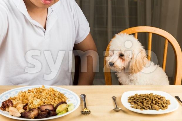 Puppy eying the plate of rice and meat on a teenager's plate and show no interest on her plate of kibbles Stock Photo