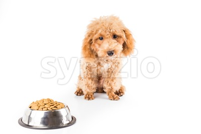 A skinny and uninterested poodle puppy next to her bowl of kibbles Stock Photo