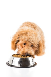 Brown poodle puppy eating kibbles from a bowl in white background Stock Photo