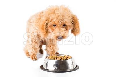 Poodle puppy walking towards a bowl full of kibbles Stock Photo