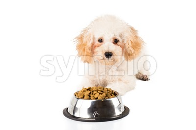 An uninterested poodle puppy next to her bowl full of kibbles Stock Photo