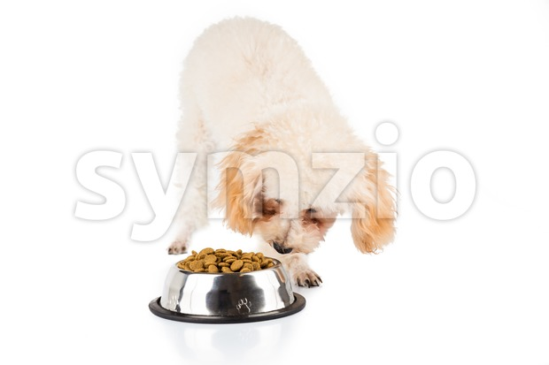 Beige poodle puppy eating kibbles from a bowl in white background Stock Photo