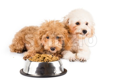 Two uninterested poodle puppies with a bowl of kibbles Stock Photo