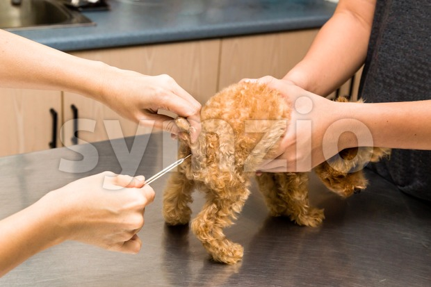 Series of vet talking the temperature of a puppy at a clinic Stock Photo