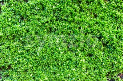 Closed up of moss, small flowerless plants that usually grow in damp or shady locations Stock Photo