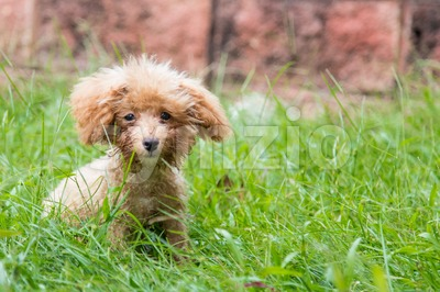 Cute poodle puppy dog playing between long grass Stock Photo