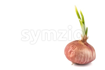 Red onion bulb with fresh green shoots in white background Stock Photo