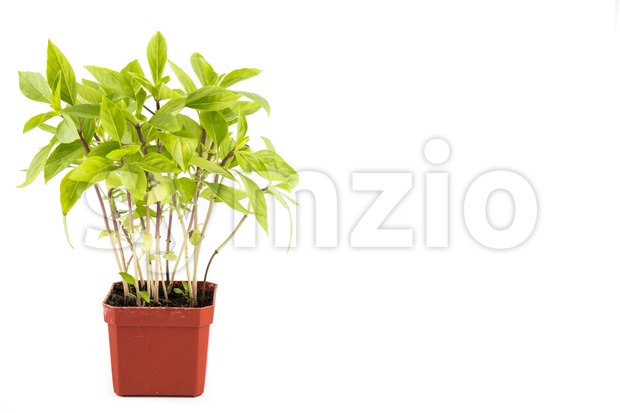 Potted Basil plant with isolated background, flushed left Stock Photo