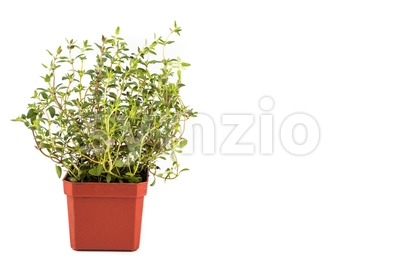 Potted Thyme plant with isolated background, flushed left Stock Photo