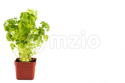 Potted Parsley plant with isolated background, flushed left Stock Photo