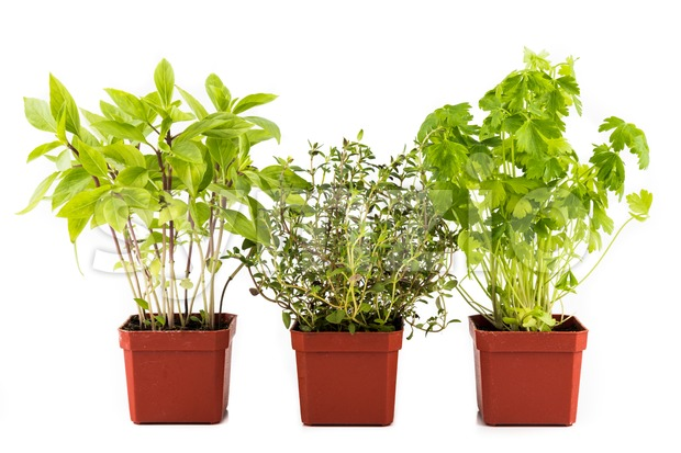 Potted Basil, Thyme and Parsley isolated in white Stock Photo