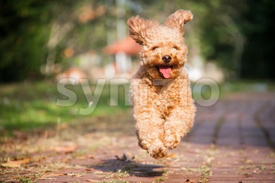 Smiling poodle dog happily running in a serene park Stock Photo