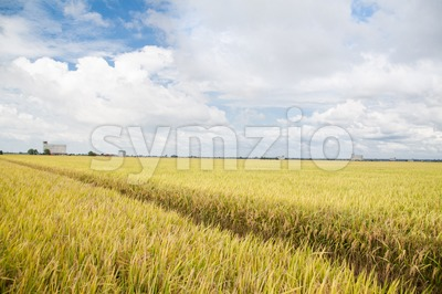 Golden paddy rice field ready for harvest at Sekinchan, Malaysia Stock Photo