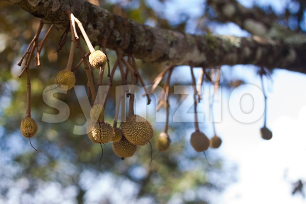 Small baby durian sprouting on tree branch
