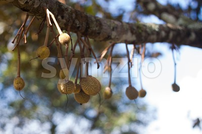 Small baby durian sprouting on tree branch Stock Photo