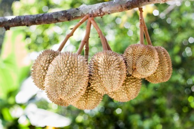 Bunch of durian fruits hanging on tree branch Stock Photo
