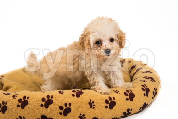 Cute and curious poodle puppy resting on her comfortable bed Stock Photo