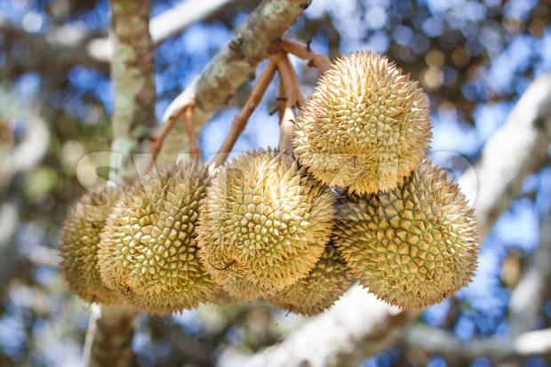 Bunch of durian fruits hanging on tree branch