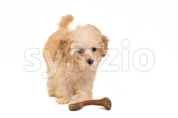 Cute poodle puppy with her bone isolated in white Stock Photo