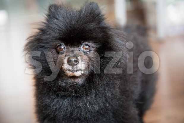Portrait of a matured black Pomeranian dog Stock Photo