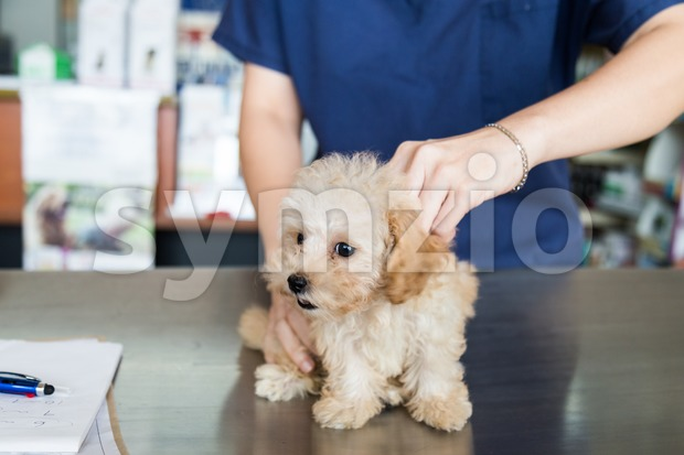 Puppy being examined by a Vet in a clinic Stock Photo