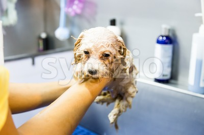 Cute tiny poodle puppy dog taking shower on bath basin Stock Photo