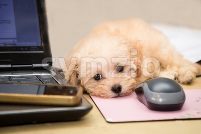Cut and adorable poodle puppy resting on office desk Stock Photo