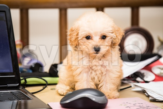 Cut and adorable poodle puppy resting on office desk