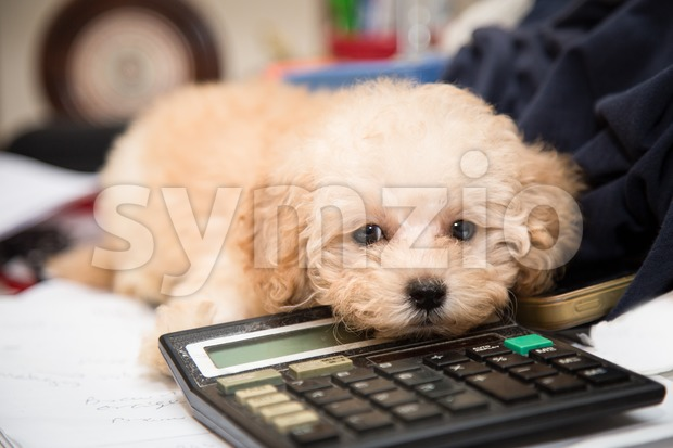 Cute poodle puppy resting on a calculator placed on a messy office desk Stock Photo
