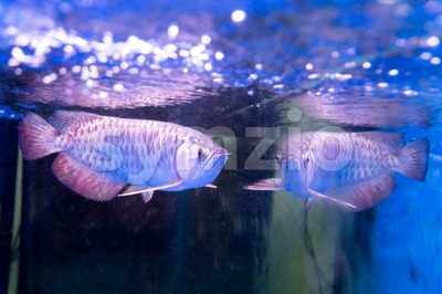 Golden arowana fish is believed to bring luck among Asians Stock Photo