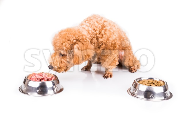 Poodle dog choosing between raw meat or kibbles as meal Stock Photo