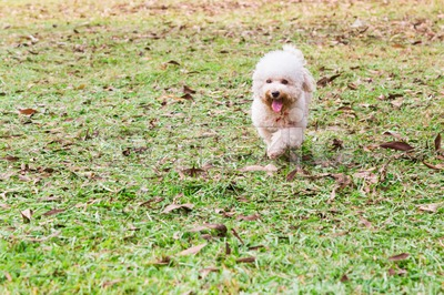 Active poodle purebred dog running and exercising at park Stock Photo