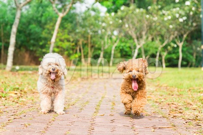 Tired dogs with long tongue resting after exercise at park Stock Photo