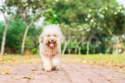 Tired dog with long tongue resting after exercise at park Stock Photo