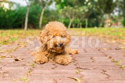 Tired brown poodle dog resting after exercise at park Stock Photo