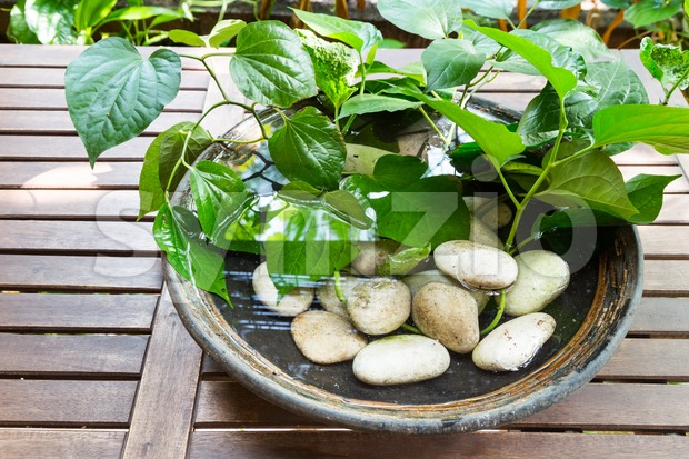 Indoor decorative potted plants with stagnant water potentially become breeding ground for mosquito