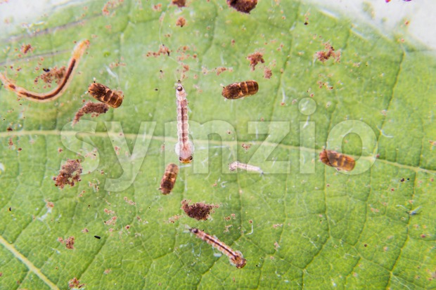 Closeup of mosquito larva and pupa breeding on potted plants stagnant water Stock Photo