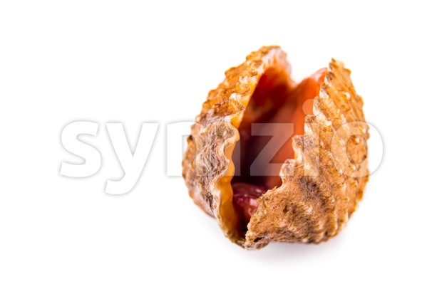 Closeup on fresh and living cockles with white background