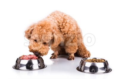 Poodle dog chooses delicious raw meat over kibbles as meal Stock Photo