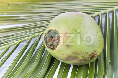 One young and juicy organic green coconut on palm leaf Stock Photo