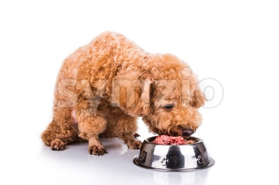 Poodle dog enjoying her nutritious and delicious raw meat meal Stock Photo