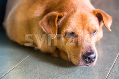 Closeup and selective focus on dog face resting on floor Stock Photo