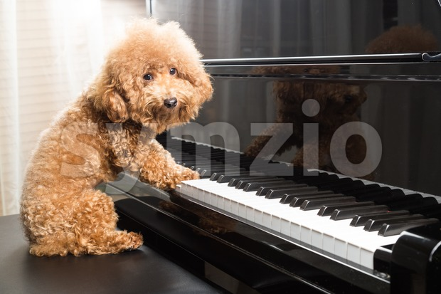 Concept of cute poodle dog preparing to play grand piano Stock Photo