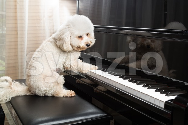 Concept of cute poodle dog seated while playing upright grand piano at home