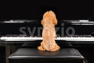 Concept of cute poodle dog playing upright grand piano Stock Photo
