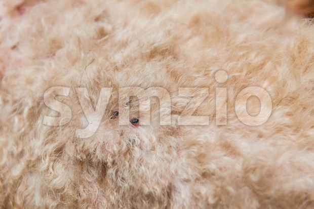 Closeup of mite and fleas infected on dog fur skin Stock Photo