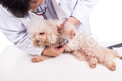 Vet doctor examining poodle dog with stethoscope on white background Stock Photo