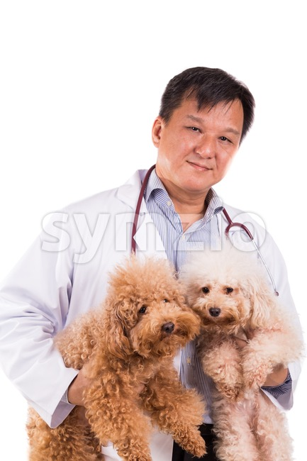 Friendly vet doctor hugging two cute poodle dogs on white background