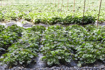 Generic wasabi agriculture plantation with protective shade along river stream Stock Photo