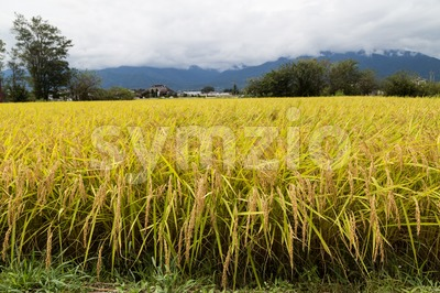 Golden yellow paddy rice field ready for harvest Stock Photo